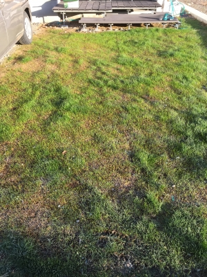 冬芝発芽。もこもこ