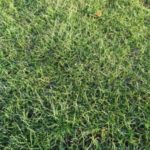 冬芝がきめ細かく生えたところ